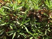 認識植物2.0 (59) 長:長葉變葉木ei0363.JPG
