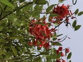 植物隨手拍 CJ:雞冠刺桐cj6583.JPG