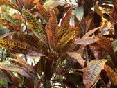 認識植物2.0 (59) 長:長葉變葉木ei6686.JPG