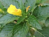 植物隨手拍 AG:黃時鐘花ag5322.JPG