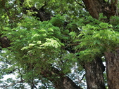 認識植物2.0 (61) 雨青:雨豆樹ax3640.JPG