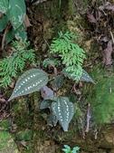 認識植物2.0 (70) 柊柏柚柳:柏拉木xx05.jpg