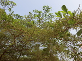 植物隨手拍 AK:細葉欖仁樹ak1305.JPG