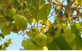 認識植物2.0 (70) 柊柏柚柳:柚木xx01.jpg
