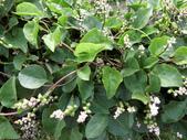 認識植物(70) 腰萬萱萼落葉葎葛葡葫葶蒂:落葵ap4674.JPG
