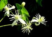 認識植物2.0 (33) 串亨伸佛克:串鼻龍xx01.jpg