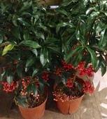 認識植物2.0 (61) 雨青:雨傘仔xx01.jpg