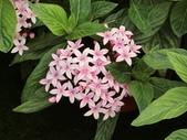 植物隨手拍 X:繁星花 x8391.JPG