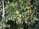 植物隨手拍 CJ:叢立孔雀椰子cl6762.JPG