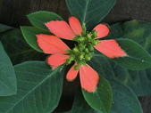 認識植物(60) 猢猩猴琴番畫短硬筆筑:猩猩草bc9381.JPG