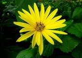 認識植物2.0 (33) 串亨伸佛克:串葉松香草xx01.jpg