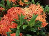 植物隨手拍 AG:矮粉仙丹花ag4427.JPG
