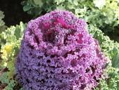 認識植物(70) 腰萬萱萼落葉葎葛葡葫葶蒂:葉牡丹bi1630.JPG