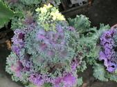 認識植物(70) 腰萬萱萼落葉葎葛葡葫葶蒂:葉牡丹bi5487.JPG