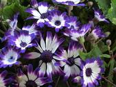 認識植物2.0 (20) 瓜瓦甘田由:瓜葉菊bd3562.JPG
