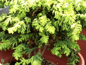 認識植物2.0 (22) 皮矢石禾立:石化檜db9983.JPG