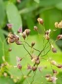 認識植物2.0 (70) 柊柏柚柳:柳葉箬xx02.jpg