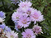 認識植物(61) 紫:紫孔雀ak8808.JPG