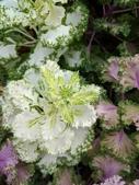 認識植物(70) 腰萬萱萼落葉葎葛葡葫葶蒂:葉牡丹xx01.jpg