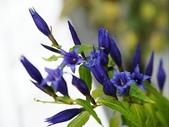 認識植物2.0 (70) 柊柏柚柳:柳葉龍膽xx01.jpg