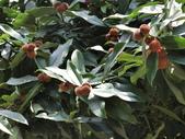 植物隨手拍 H:毛柿 h6540.JPG