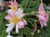 植物隨手拍 AD:垂絲海棠ad0595.JPG