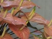 認識植物(61) 紫:紫火鶴dp0678.JPG