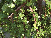 植物隨手拍 BP:樹馬齒莧bp6561.JPG