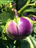 認識植物(61) 紫:紫光茄xx02.jpg