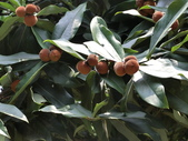 植物隨手拍 H:毛柿 h6541.JPG