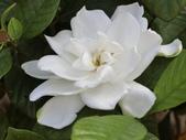 植物隨手拍 AM:玉堂春am0461.JPG