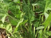 認識植物(63) 菜菝菟菠菩菫華菱菲菸菾萎著蛛蛟裂:菠菜ce6456.JPG