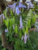 認識植物2.0 (29) 百竹:百子蓮xx01.jpg