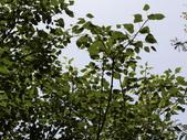 認識植物(63) 菜菝菟菠菩菫華菱菲菸菾萎著蛛蛟裂:菩提樹bu2839.JPG