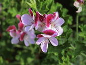 認識植物2.0 (68) 指星映春:星光天竺葵 v5097.JPG