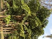 植物隨手拍 CJ:叢立孔雀椰子cj7137.JPG