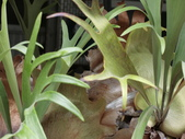 認識植物(57) 鹿麥麻傅傘博喜喬單報壺富:鹿角蕨cq6075.JPG