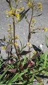 認識植物(70) 腰萬萱萼落葉葎葛葡葫葶蒂:葶藶xx05.jpg
