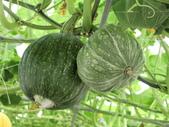 認識植物2.0 (63) 南:南瓜an6656.JPG