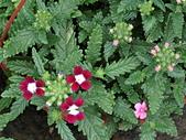 植物隨手拍 BP:美女櫻bp1437.JPG