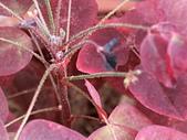 植物隨手拍CW:小紅楓cw6883.JPG
