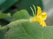 認識植物2.0 (77) 耐胡苕苞:胡瓜at5924.JPG
