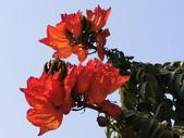 植物隨手拍 Q:火焰木 q2915.JPG