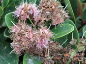 認識植物(50) 高鬼偃假:高士佛赤楠 L8515.JPG