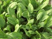 認識植物(63) 菜菝菟菠菩菫華菱菲菸菾萎著蛛蛟裂:菠菜ce6451.JPG