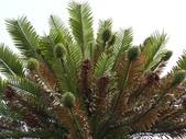 認識植物2.0 (20) 瓜瓦甘田由:瓦勒邁杉xx04.jpg