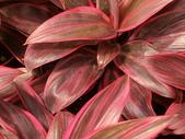 認識植物2.0 (66) 威娃屋屏峇:娃娃朱焦 k0603.JPG