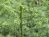 植物隨手拍CW:不老松cw5103.JPG
