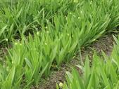 認識植物2.0 (63) 南:南非伯利恆之星cz6684.JPG
