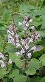 認識植物2.0 (31) 耳肉肋舌舟艾:耳挖草xx02.jpg